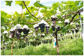 まるき葡萄酒の畑・マスカットベリーA