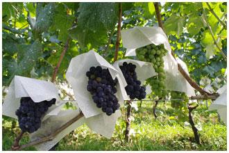 まるき葡萄酒の畑・カベルネソーヴィニオン