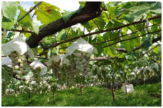 まるき葡萄酒の畑・甲州