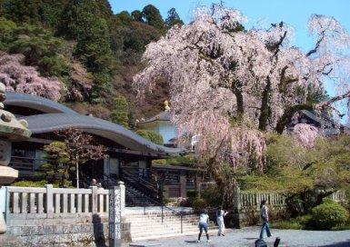 身延山のしだれ桜
