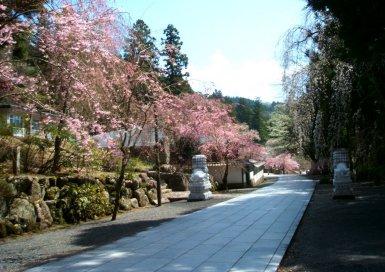 身延山 御草庵 桜