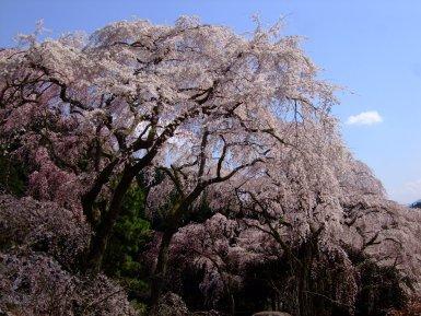 身延山 しだれ桜