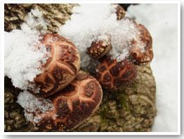 冬、雪の中で毎日少しずつ成長した椎茸